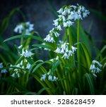 flowering three cornered leek ...   Shutterstock . vector #528628459