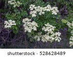 elderflower  sambucus  | Shutterstock . vector #528628489