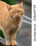 Small photo of Big ginger cat with ling whiskers walking on wooden fence