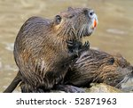 South American beaver rat with big orange teeth washing. Latin name myocastor coypus - stock photo