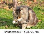 fluffy cat licks herself in the ... | Shutterstock . vector #528720781