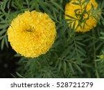 beautiful marigold flower with...   Shutterstock . vector #528721279