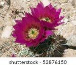 Nevada Desert Cactus Bloom At...