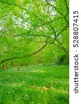 Small photo of An ancient woodland full of wild garlic, Allium ursinum, in Spring near to Painswick, The Cotswolds, Gloucestershire, England, United Kingdom