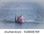 Bryde's Whale Or The Bryde's...