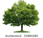 Single Maple Tree Isolated On...
