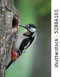 Woodpecker On A Tree Looks Int...