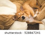 Chihuahua Puppy Sleeping On...