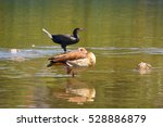 Cormorant And Nile Goose...