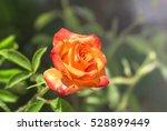 Blooming Orange Rose On A...