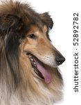 Close Up Of Rough Collie With...