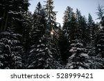 Snow Covered Fir Trees Forest...