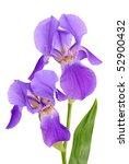 Violet Flower Iris On The Whit...