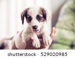 Stock photo puppy woman holds her puppy in hands 529020985
