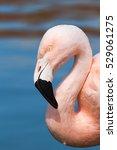 Portrait Of A Nice Flamingo...