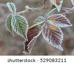 Frozen Blackberry Leafs