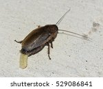 female cockroach laying an... | Shutterstock . vector #529086841