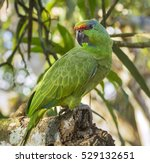 Small photo of Festive amazon (Amazona festiva)