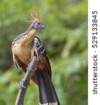 Small photo of Hoatzin (Opisthocomus hoazin) at Pacaya Samiria National Reserve