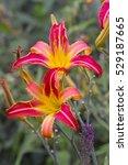 Pink Red Daylily  Hemerocallis...