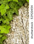 Ivy Leaves  Pine Bark In The...