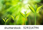 small tree growing on the... | Shutterstock . vector #529214794