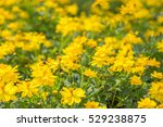 Small photo of Amazing many beautiful blooming yellow flower adsorbed sunlight in the garden