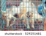 Stock photo persian kittens in the nick of blue in the market 529251481