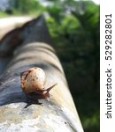 Small photo of snail Achatina fulica