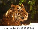 A Sumatran Tiger Sitting In Th...