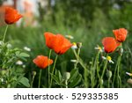 Red Poppies And Daises In The...