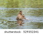 Small photo of Female mallard duck is taking a bath spraying water all over.