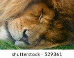 Lion asleep in grass, portrait/face shot - stock photo