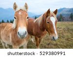two horses in the meadow of... | Shutterstock . vector #529380991