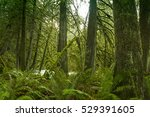 ancient rain forest in... | Shutterstock . vector #529391605