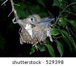 Humming Bird In The Nest
