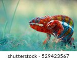 Stock photo reptile reptiles chameleon macro animal animals indonesia 529423567