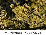 hamamelis x intermedia 'gimborn'... | Shutterstock . vector #529423771