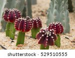 Blooming Red Cactus On The Sand.