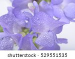 Blue Lathyrus With Water Drops...