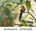 squirrel cuckoo perched on a...   Shutterstock . vector #529562689