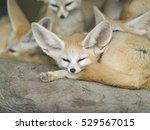 Fennec Fox   Selective Focus