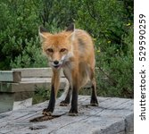 Red Fox Licks Chops While...