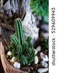 Small photo of Fairy Castle Cactus, Acanthocereus tetragonus