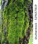 Green Moss Liken On Vertical...