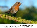 erithacus rubecula   Shutterstock . vector #529724395
