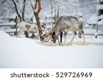 Reindeer In The Winter In A...
