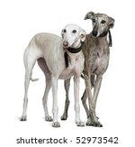 Two Galgo Espanol Dogs  8 And ...