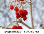 Frozen Red Currant During A...
