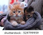 Stock photo kitten for sale in hand made scarf outdoor foxy red orange white kitten boy and black brown kitten 529799959